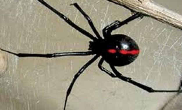 Fallece menor por picadura de araña en Creel