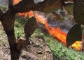 Destruyen más amapolas; ahora ¡151 mil 500 plantas!