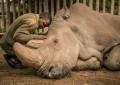 """¿Esperanza para el rinoceronte blanco? Quieren clonar a """"Sudan"""""""