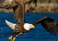 Protegen al águila real en área de Guachochi