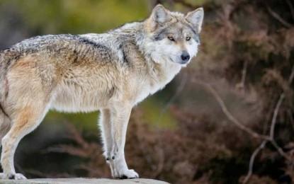 Buscan salvar al lobo gris mexicano en Chihuahua