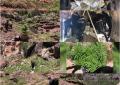 Batopilas: Destruyen plantíos de marihuana en la cima de una ¡montaña!