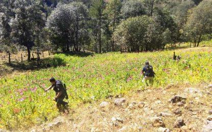 Destruye AEI 35 mil plantas de amapola en Guadalupe y Calvo