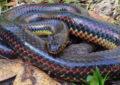 Encuentran extraña serpiente no vista desde hace 50 años
