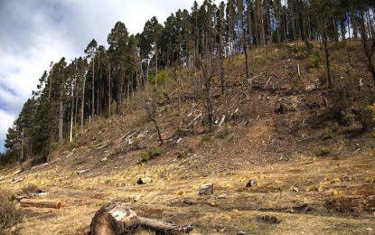 Deforestó tala ilegal 15 mil hectáreas en San Juanito