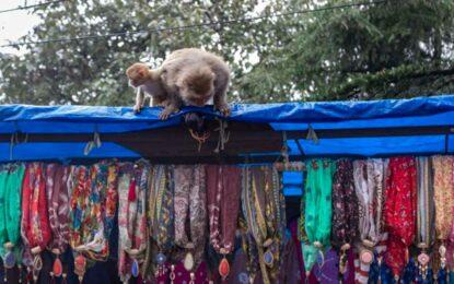Utilizaba monos amaestrados para robar