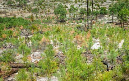Atendió la Conafor plaga que afecta pinos jóvenes en bosque de Bocoyna