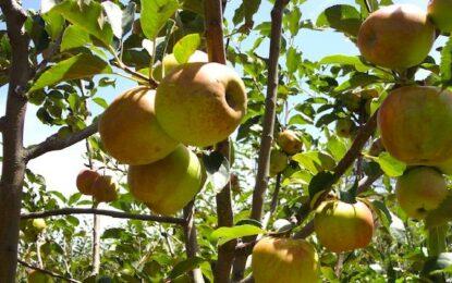 Produce Chihuahua el 83% de la manzana a nivel nacional