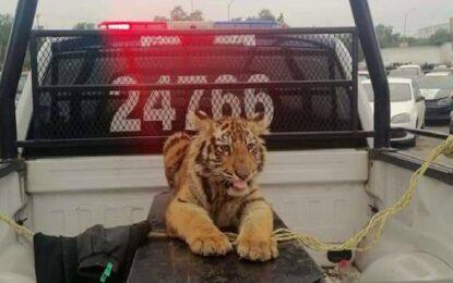 Aseguraron policías a ¡tigre! que paseaba en calles de EdoMex