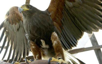 El águila Real, declarada oficialmente símbolo vivo nacional