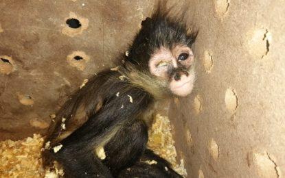 Localizan mono araña en una caja en aeropuerto de Juárez; estaba deshidratado