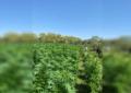 Aseguran más de 7 hectáreas de marihuana en Villa Coronado