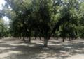 Cultivo de nuez está secando y dejando sin agua a jiménez